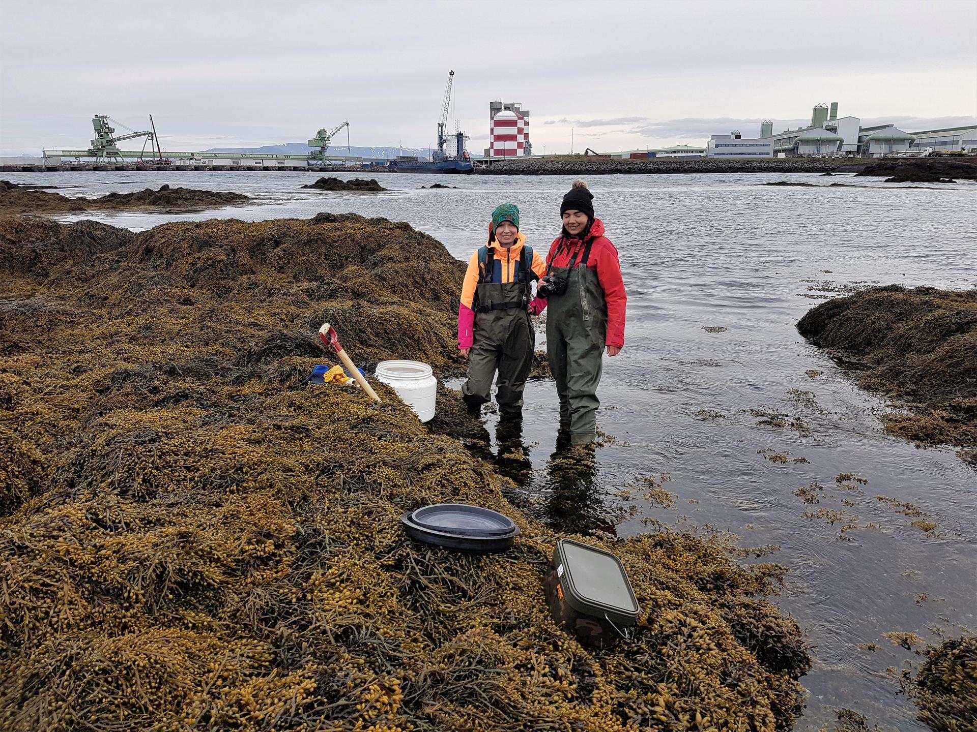 Eva Paulus og Sabine Gollner safna krabbaflóm til erfðarannsókna í Straumsvík á Reykjanesi