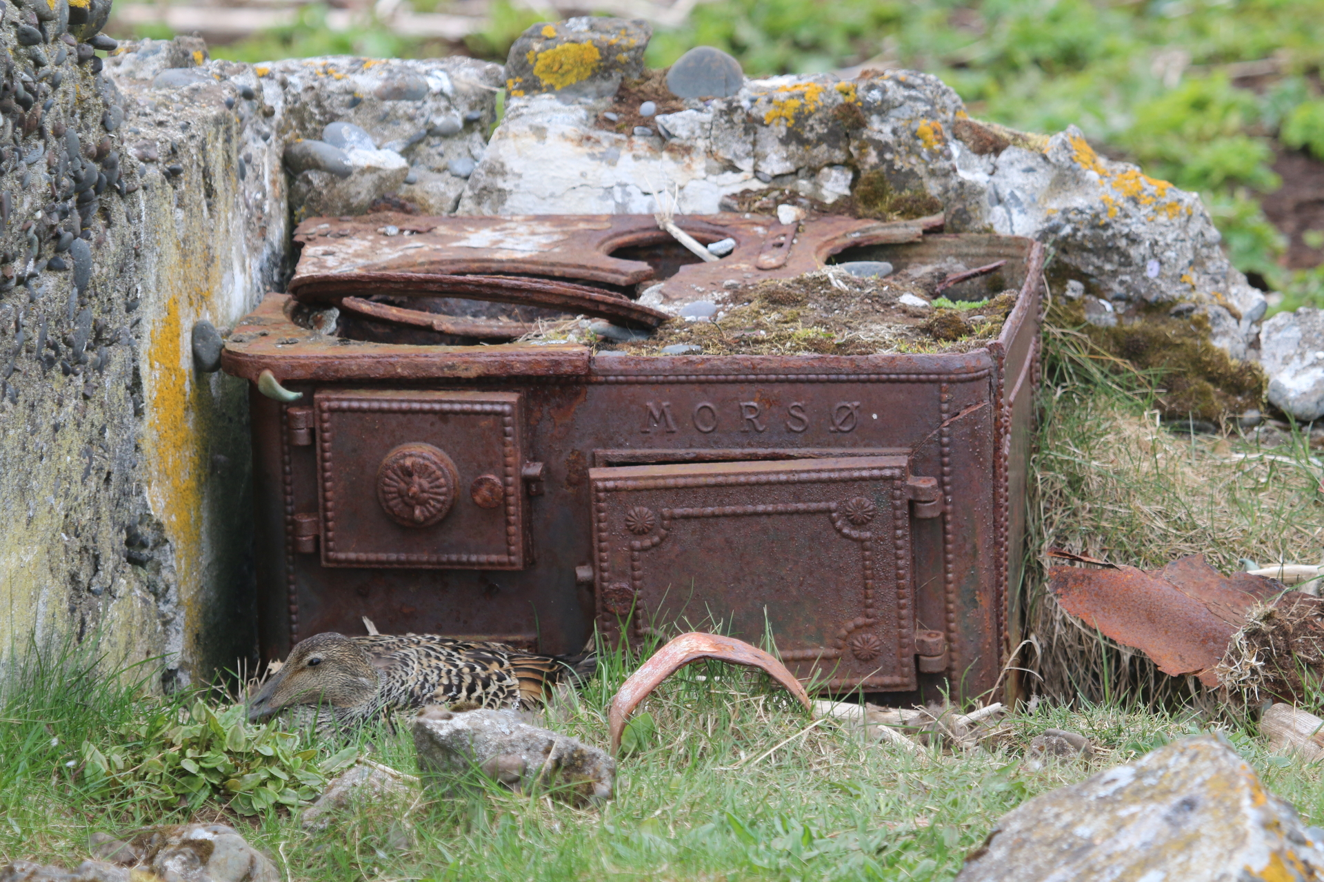 Æðarhreiður í Sellátri, í rústum gamla bæjarins.