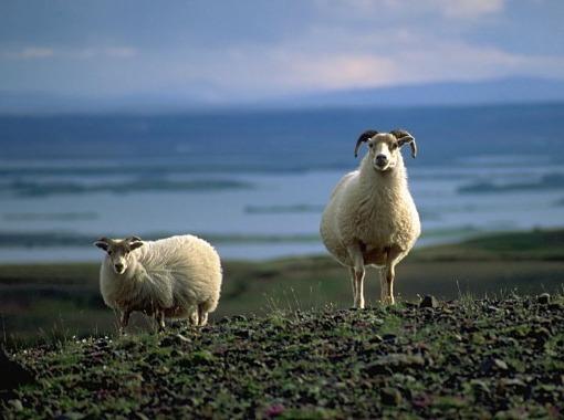 Málstofa Lífvísindaseturs - Prion protein genotypes in Icelandic scrapie flocks